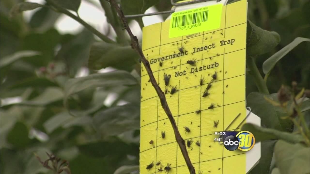 Asian citrus psyllid could be in Fresno County