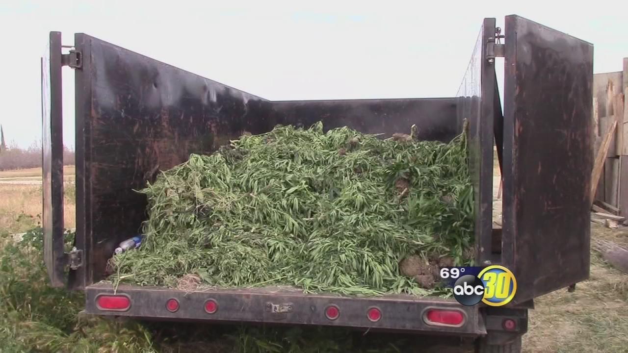 Hundreds of marijuana plants found at Fresno County property