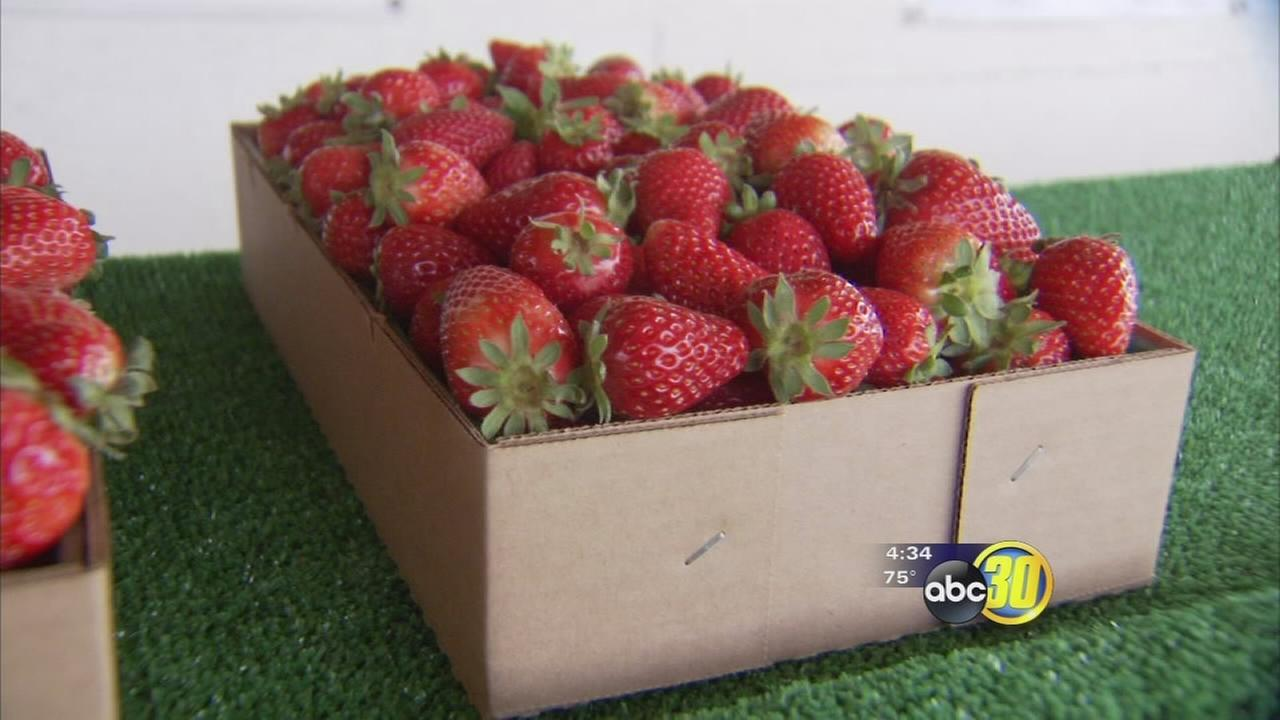 High heat leads to early strawberry season