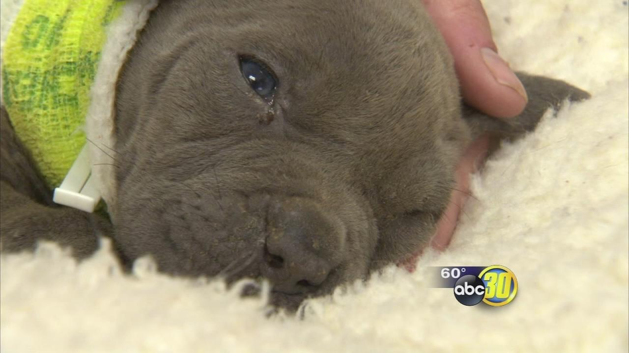 1 pit bull puppy survives after litter abandoned in Madera County