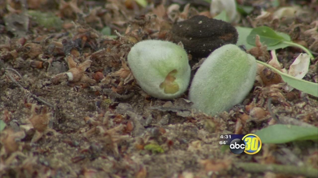 Hail damage in Madera almond orchard