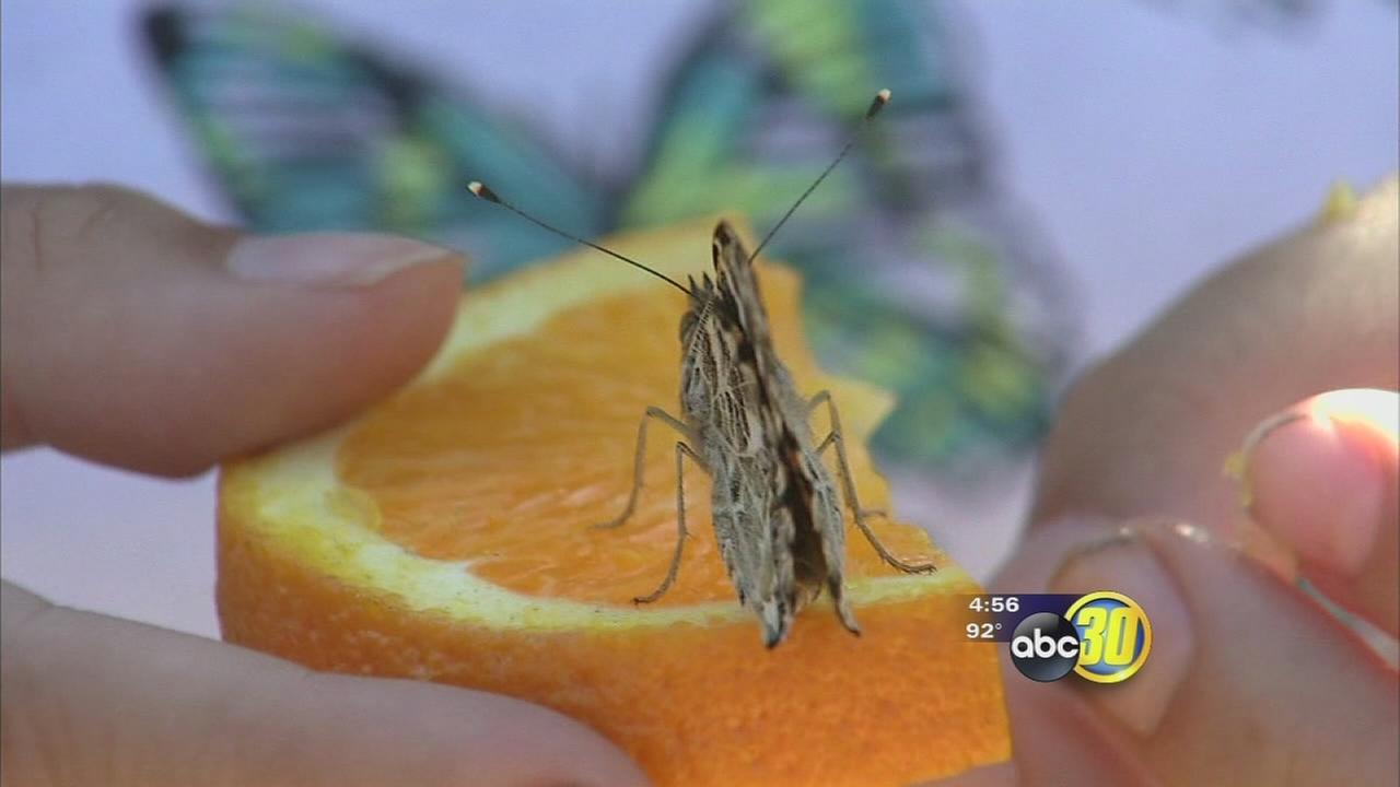 Butterfly festival takes over Mariposa