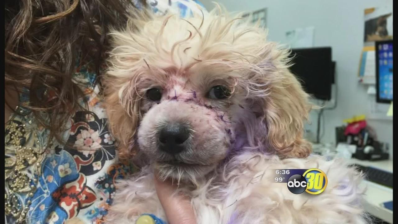 Puppy found with muzzle bound shut in Madera