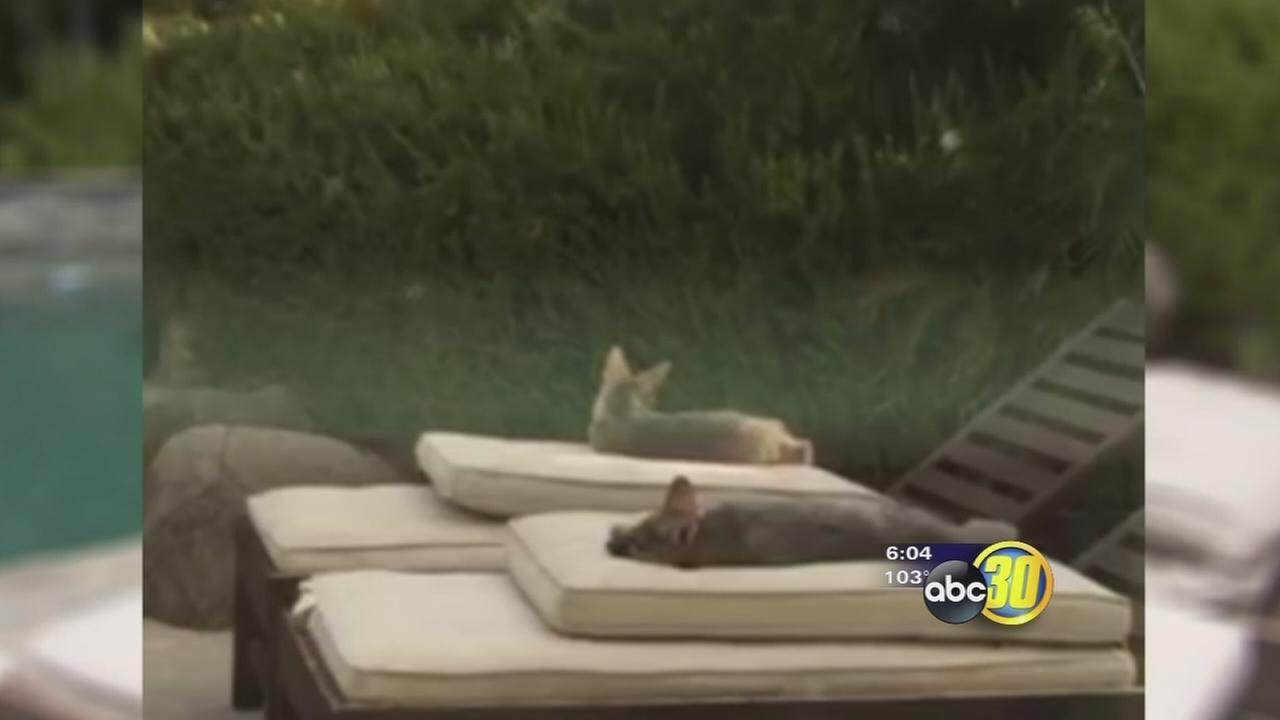 Grey foxes caught lounging next to a pool in North Fresno
