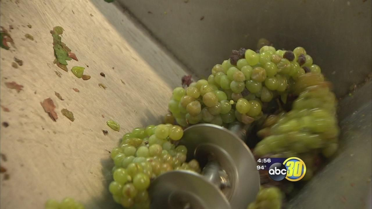 Drought brings early start to wine grape harvest