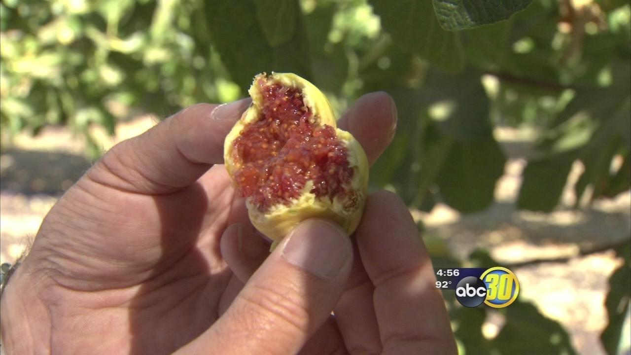 Warm weather, drought put fig harvest ahead of schedule