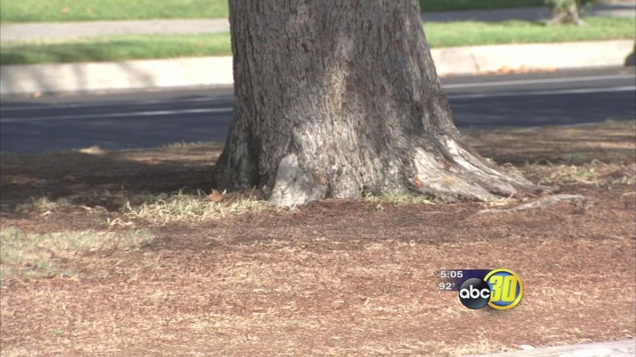 Watering restrictions hurting historic Fresno trees