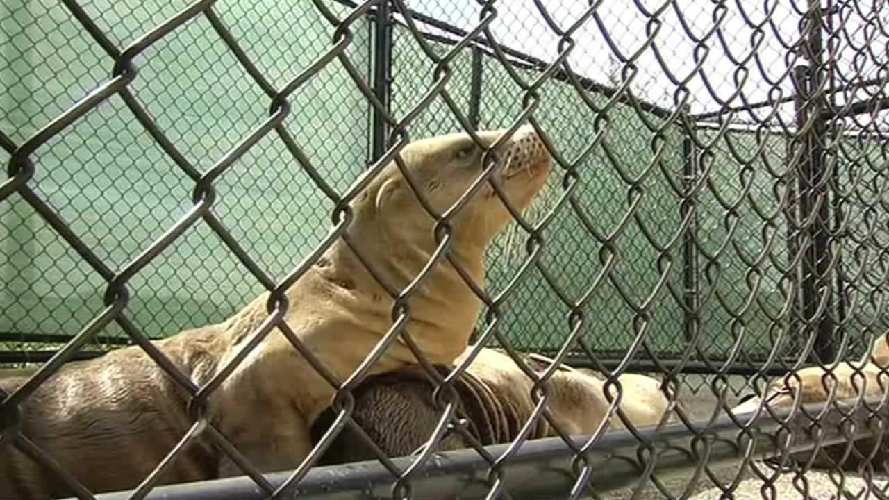 "<div class=""meta image-caption""><div class=""origin-logo origin-image none""><span>none</span></div><span class=""caption-text"">A sea lion pup was rescued near San Francisco's Lake Merced on Wednesday, Feb. 11, 2015. (ABC7 News)</span></div>"