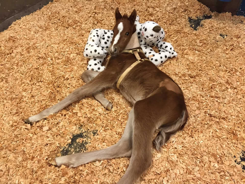 <div class='meta'><div class='origin-logo' data-origin='none'></div><span class='caption-text' data-credit='Fremont Police Department/Facebook'>A baby horse that was rescued in Fremont, Calif. on Valentine's Day is seen recovering in Davis, Calif. on Thursday, February 18, 2016.</span></div>