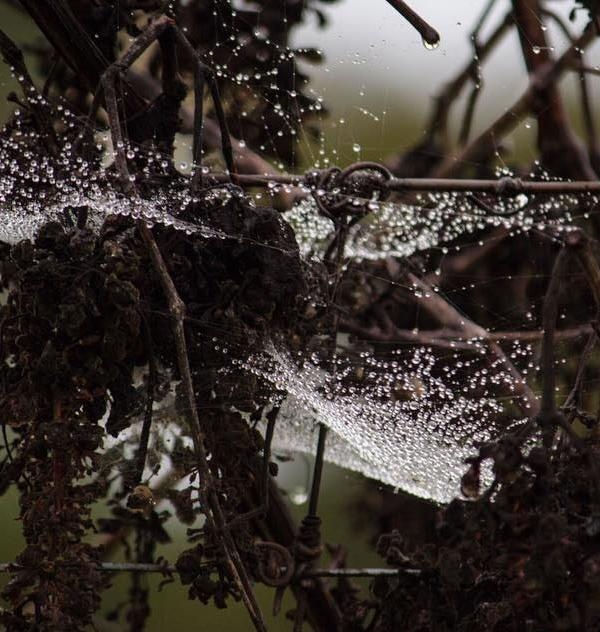 <div class='meta'><div class='origin-logo' data-origin='none'></div><span class='caption-text' data-credit='Submitted to KGO-TV via Instagram/ @rachaelhairstonphotography'>A viewer submitted this image of a rain soaked spider web in Sonoma County, March 10, 2016.</span></div>