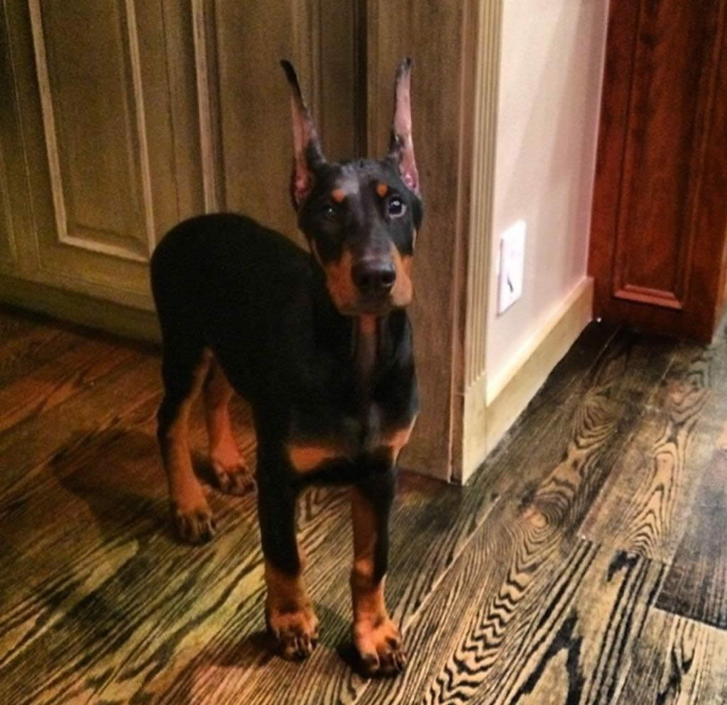 """<div class=""""meta image-caption""""><div class=""""origin-logo origin-image kgo""""><span>KGO</span></div><span class=""""caption-text"""">Meet little Giovanni the Doberman! ABC7 News viewers are sending in photos of their dogs in honor of National Puppy Day on March 23, 2015. (Photo submitted by Alexandra/Twitter)</span></div>"""