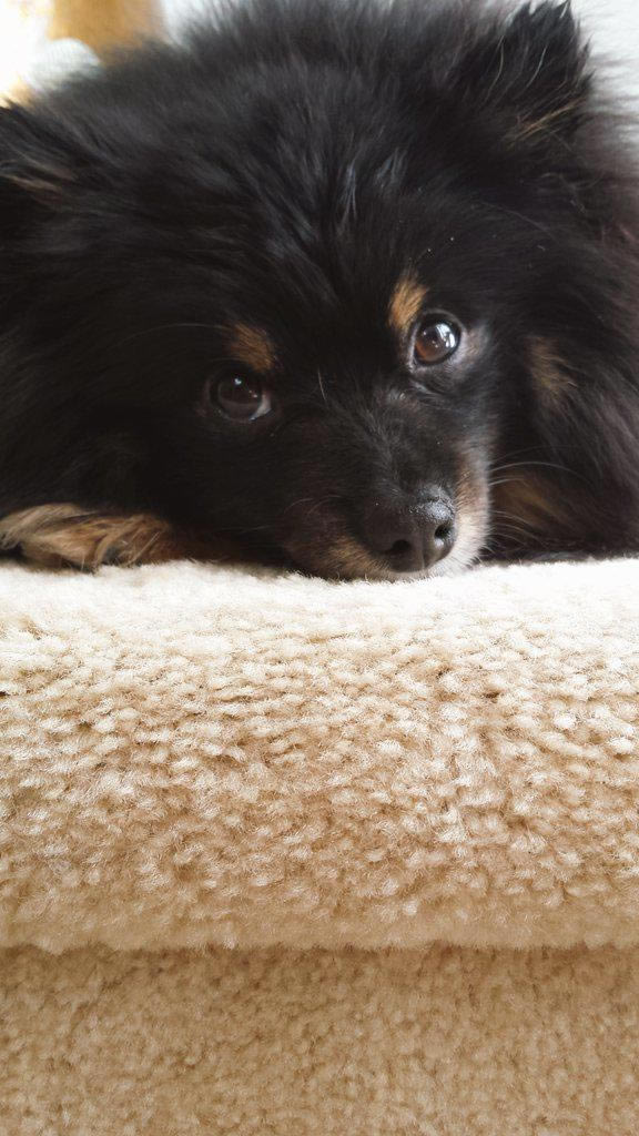 """<div class=""""meta image-caption""""><div class=""""origin-logo origin-image kgo""""><span>KGO</span></div><span class=""""caption-text"""">Meet Tobey the Pomeranian! ABC7 News viewers are sending in photos of their dogs in honor of National Puppy Day on March 23, 2015. (Photo submitted by George/Twitter)</span></div>"""