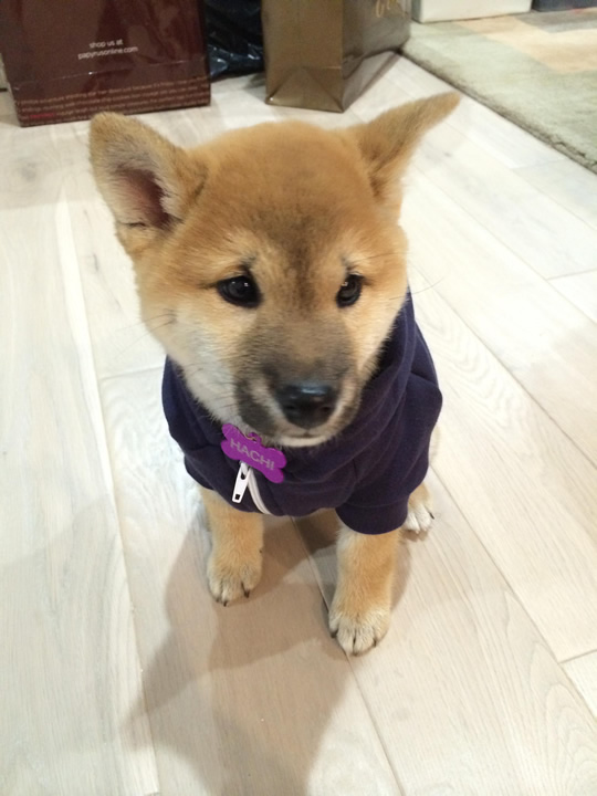 """<div class=""""meta image-caption""""><div class=""""origin-logo origin-image kgo""""><span>KGO</span></div><span class=""""caption-text"""">Meet Hachi! ABC7 News viewers and staff are sending in photos of their dogs in honor of National Puppy Day on March 23, 2015. (Photo submitted by Jonathan/uReport)</span></div>"""