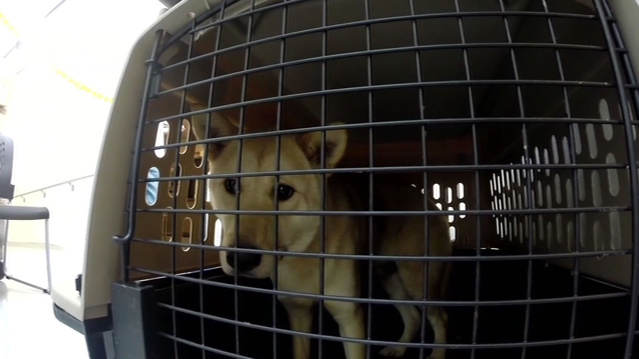 "<div class=""meta image-caption""><div class=""origin-logo origin-image kgo""><span>KGO</span></div><span class=""caption-text"">Pups rescued from a dog meat farm in South Korea arrived at the San Francisco SPCA on March 19, 2015. (KGO-TV)</span></div>"