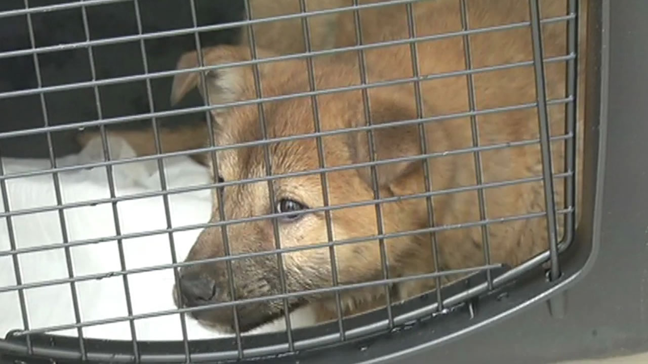 """<div class=""""meta image-caption""""><div class=""""origin-logo origin-image kgo""""><span>KGO</span></div><span class=""""caption-text"""">Pups rescued from a dog meat farm in South Korea arrived at the San Francisco SPCA on March 19, 2015. (KGO-TV)</span></div>"""