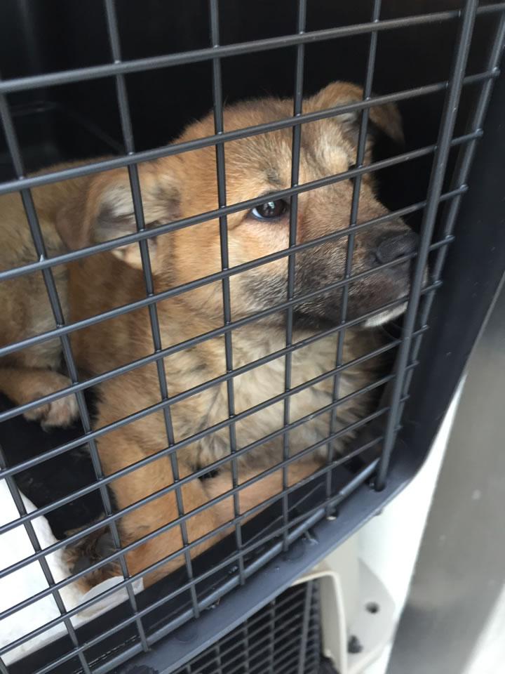 "<div class=""meta image-caption""><div class=""origin-logo origin-image kgo""><span>KGO</span></div><span class=""caption-text"">A puppy rescued from a dog meat farm in South Korea arrived at the San Francisco SPCA on March 19, 2015. (KGO-TV)</span></div>"