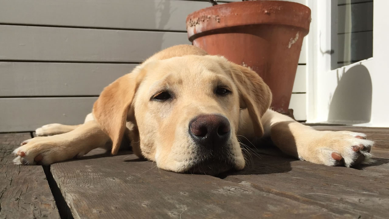 """<div class=""""meta image-caption""""><div class=""""origin-logo origin-image kgo""""><span>KGO</span></div><span class=""""caption-text"""">This Canine Companions for Independence puppy Digby is just chilling out. ABC7 News viewers are sending in photos of their dogs in honor of National Puppy Day on March 23, 2015. (Photo submitted by David/uReport)</span></div>"""