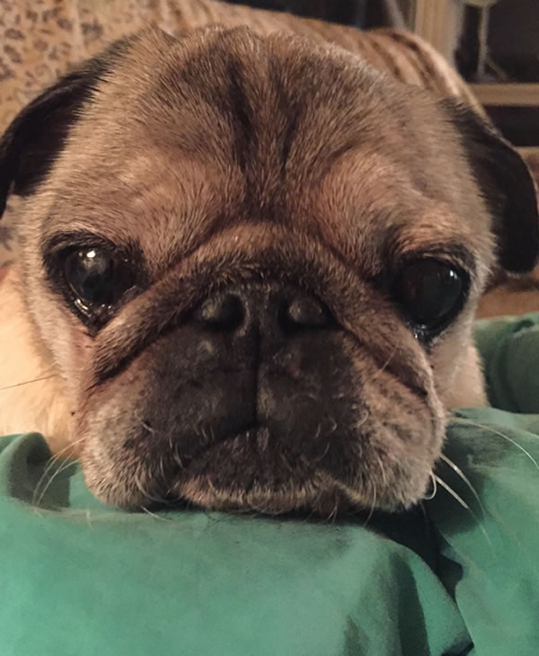 """<div class=""""meta image-caption""""><div class=""""origin-logo origin-image kgo""""><span>KGO</span></div><span class=""""caption-text"""">Petey the handsome pug dog enjoys naps and eating dinner. ABC7 News viewers are sending in photos of their dogs in honor of National Puppy Day on March 23, 2015. (Photo submitted by Jocelyn/uReport)</span></div>"""