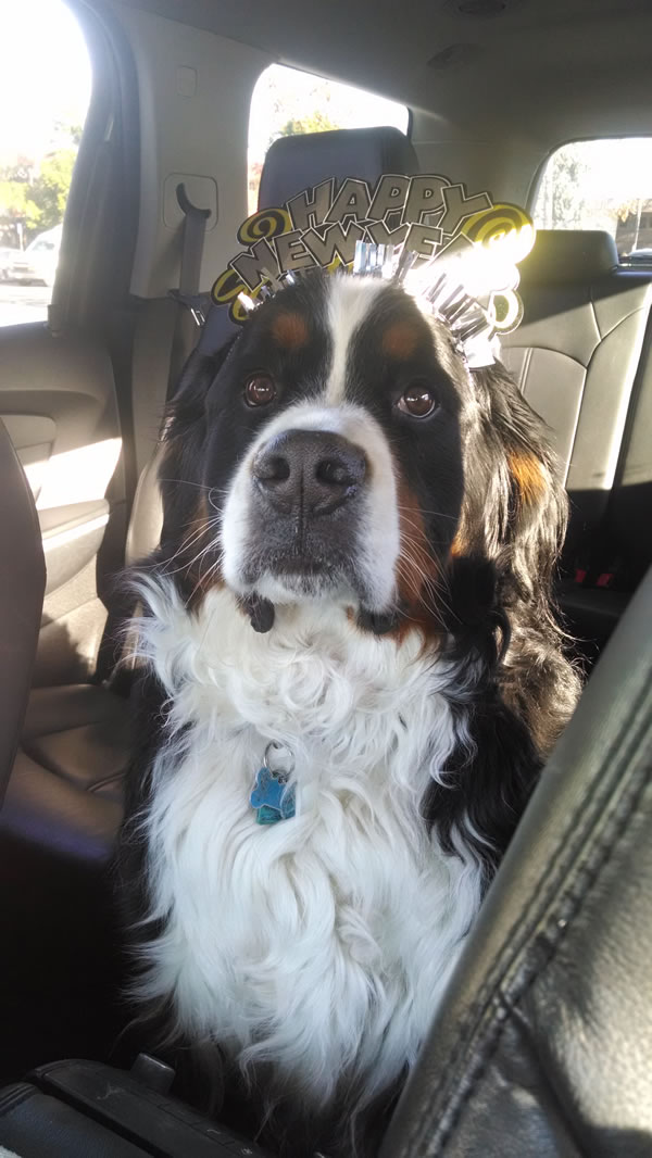 """<div class=""""meta image-caption""""><div class=""""origin-logo origin-image kgo""""><span>KGO</span></div><span class=""""caption-text"""">Reuben is a 5-year-old Bernese Mountain Dog. ABC7 News viewers are sending in photos of their dogs in honor of National Puppy Day on March 23, 2015. (Photo submitted by Deborah/uReport)</span></div>"""
