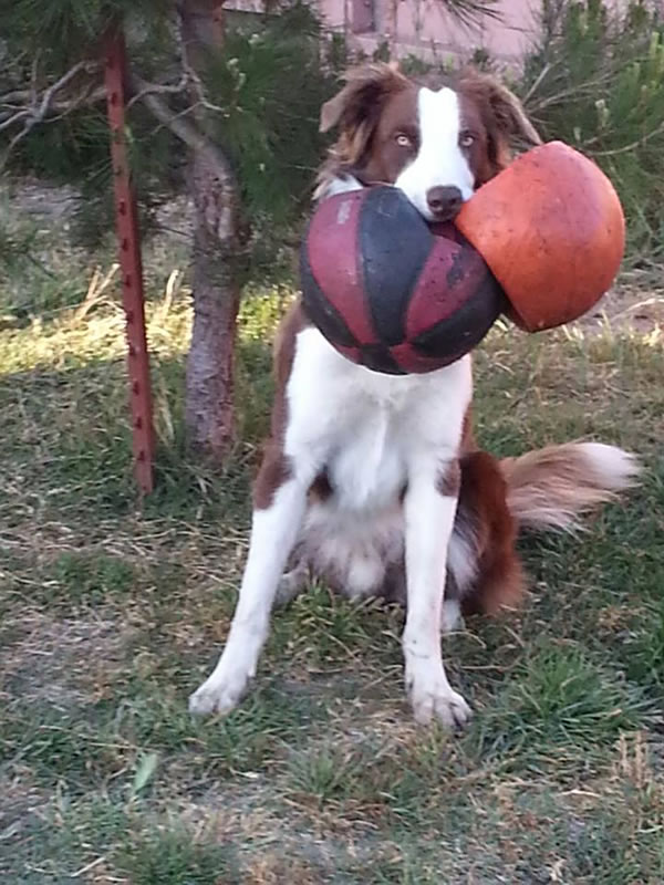 """<div class=""""meta image-caption""""><div class=""""origin-logo origin-image kgo""""><span>KGO</span></div><span class=""""caption-text"""">Murphy punctured the balls, but he still finds a way to play with them! ABC7 News viewers are sending in photos of their dogs in honor of National Puppy Day on March 23, 2015. (Photo submitted by Linda/uReport)</span></div>"""