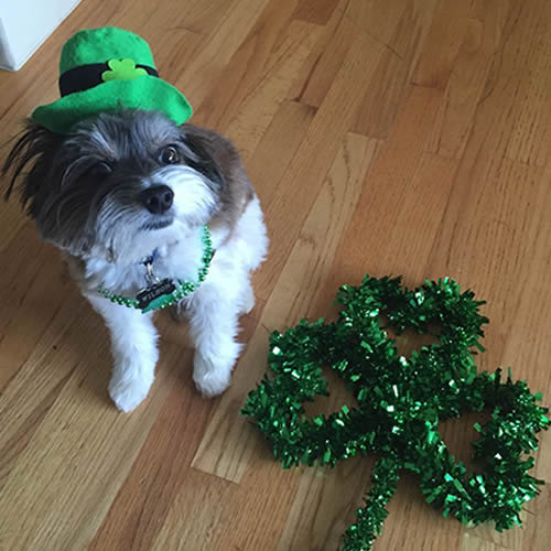 <div class='meta'><div class='origin-logo' data-origin='none'></div><span class='caption-text' data-credit='Photo submitted to KGO-TV by @wilson_in_the_city/Instagram'>A dog is seen wearing a hat and necklace in honor of St. Patrick's Day in San Francisco, Calif. on Friday, March 17, 2017.</span></div>
