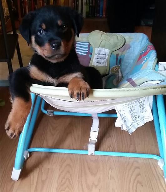 """<div class=""""meta image-caption""""><div class=""""origin-logo origin-image none""""><span>none</span></div><span class=""""caption-text"""">Hello, meet Bella. ABC7 News viewers are sending in photos of their dogs in honor of National Puppy Day on March 23, 2015. (Photo submitted by Gonzobabii/uReport)</span></div>"""