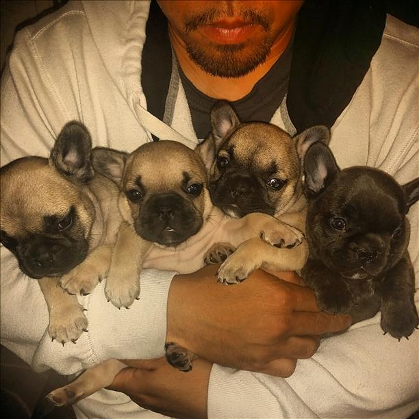 """<div class=""""meta image-caption""""><div class=""""origin-logo origin-image none""""><span>none</span></div><span class=""""caption-text"""">Check out these adorable French Bulldogs! ABC7 viewers are submitting images of their dogs in honor of National Puppy Day. (Photo submitted by Dea Torres/uReport)</span></div>"""