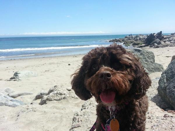 """<div class=""""meta image-caption""""><div class=""""origin-logo origin-image kgo""""><span>KGO</span></div><span class=""""caption-text"""">Meet Zoey! ABC7 News viewers and staff are sending in photos of their dogs in honor of National Puppy Day on March 23, 2015. (Photo submitted by Eric/Twitter)</span></div>"""
