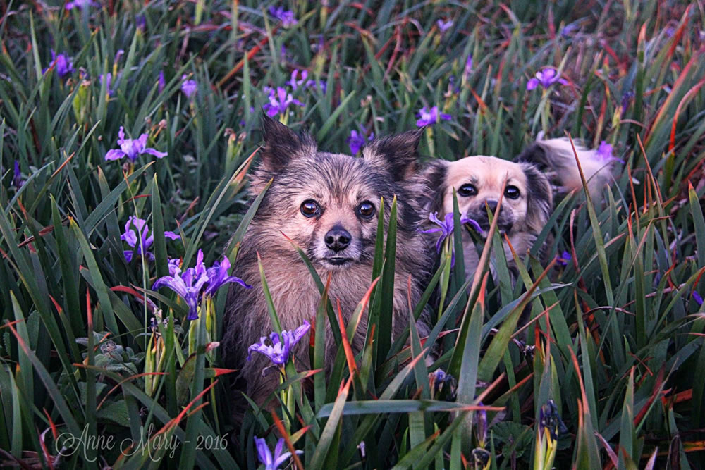 <div class='meta'><div class='origin-logo' data-origin='none'></div><span class='caption-text' data-credit='Photo submitted to KGO-TV by Anne Mary Schaefer/Facebook'>Two puppies appear in a bed of purple flowers in this undated image.</span></div>