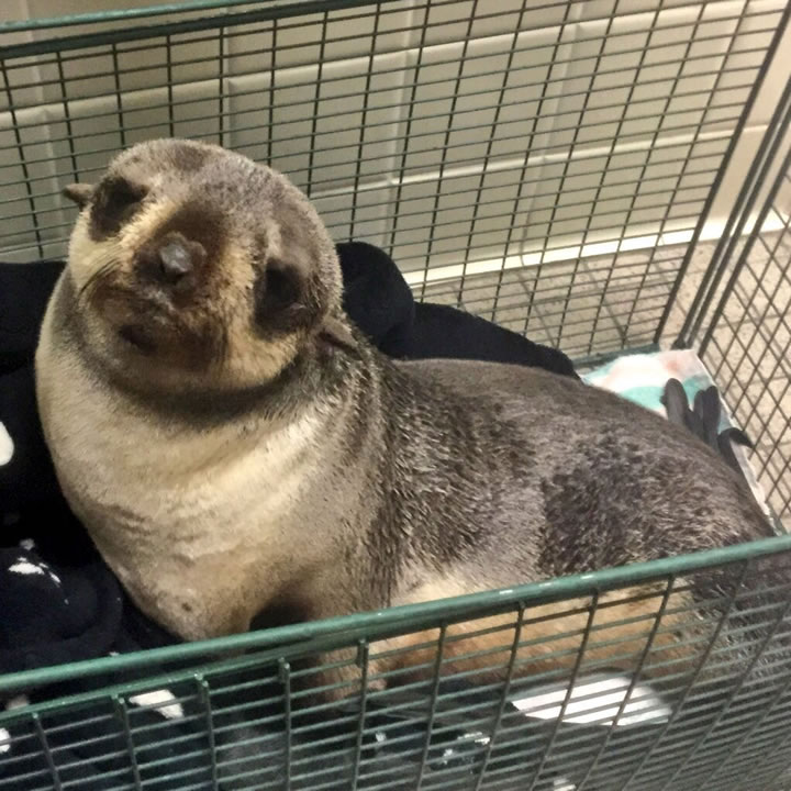 <div class='meta'><div class='origin-logo' data-origin='none'></div><span class='caption-text' data-credit='Fremont Police/Twitter'>A seal was rescued from the front yard of a home in Fremont, Calif. on Thursday, March 24, 2016.</span></div>