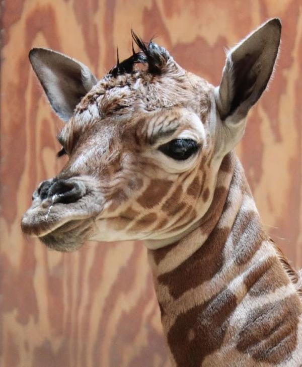 "<div class=""meta image-caption""><div class=""origin-logo origin-image none""><span>none</span></div><span class=""caption-text"">The San Francisco Zoo welcomed a baby giraffe born Friday, April 8, 2015. (San Francisco Zoo/ Rachel Eslick)</span></div>"