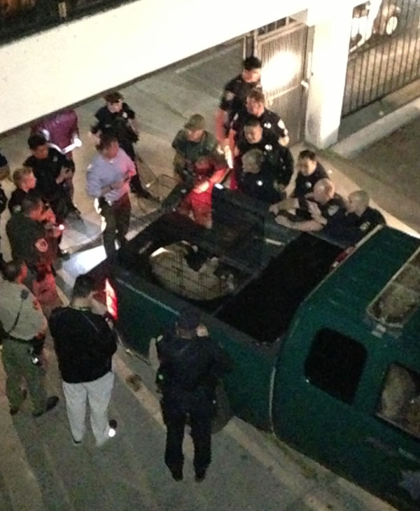 Mountain View is still buzzing after a cougar caused a standoff and evacuations at an apartment complex <span class=meta>(Mountain View Police)</span>