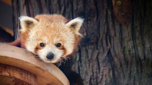 "<div class=""meta ""><span class=""caption-text "">SF Zoo officials have revealed that the new 10-month-old male red panda will be named ""Tenzing.""  (SF Zoo)</span></div>"