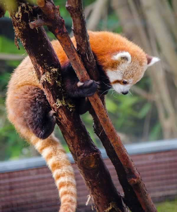SF Zoo officials have revealed that the new 10-month-old male red panda will be named