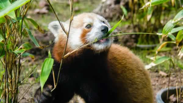 SF Zoo officials have revealed that the new 10-month-old male red panda will be named &#34;Tenzing.&#34; <span class=meta>SF Zoo</span>