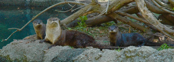 <div class='meta'><div class='origin-logo' data-origin='none'></div><span class='caption-text' data-credit='Photos by Oakland Zoo'>Three new river otters are seen in their exhibit at the Oakland Zoo in this photo released on Tuesday, May 9, 2017.</span></div>