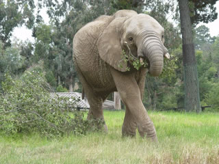 The Zoo is home to four African elephants named Donna, Lisa, M&#39;Dunda, and Osh.   <span class=meta>(Oakland Zoo)</span>
