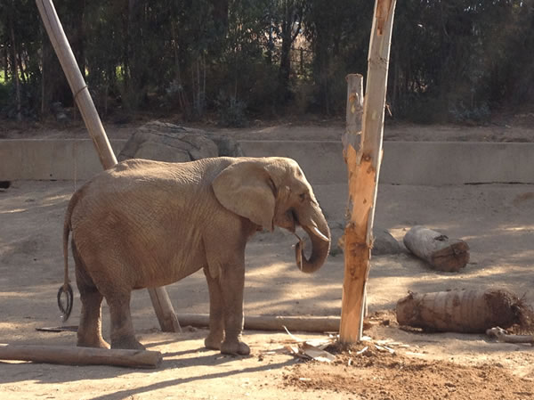"<div class=""meta ""><span class=""caption-text "">The Zoo is home to four African elephants named Donna, Lisa, M'Dunda, and Osh.   (Oakland Zoo)</span></div>"