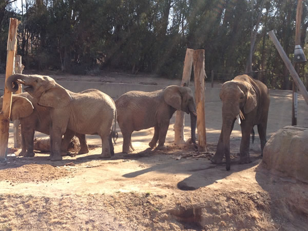 The Zoo is home to four African elephants named Donna, Lisa, M&#39;Dunda, and Osh.   <span class=meta>(Gina Kinzley, Senior Elephant Keeper)</span>