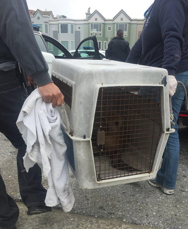 <div class='meta'><div class='origin-logo' data-origin='none'></div><span class='caption-text' data-credit='San Francisco police'>San Francisco police helped rescue a sea lion along the Great Highway, Monday, May 30, 2016.</span></div>