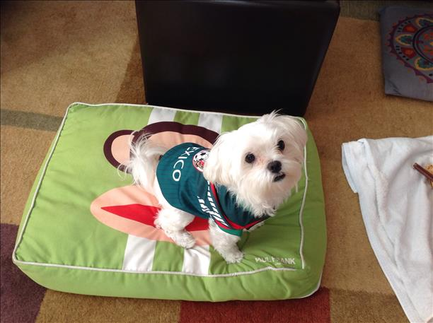 "<div class=""meta ""><span class=""caption-text "">Baby maltese, QP, cheers on the Mexico team! Keep sending in your World Cup fan photos! (photo submitted by Mannyrey4 via uReport)</span></div>"