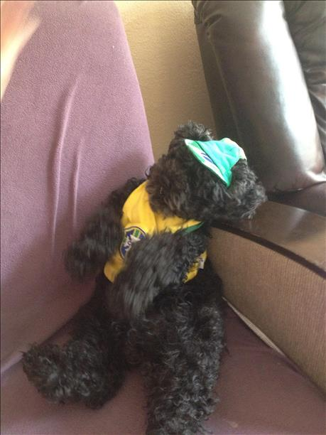 Kozy the poodle is ready for Brazil to win ! Keep sending in your World Cup fan photos! <span class=meta>(photo submitted by Tatyana Mendes via uReport)</span>