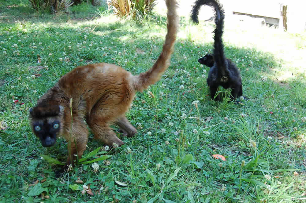 Dern &#40;left&#41; and Anthony &#40;right&#41; coexist at an Oakland Zoo exhibit.  Zookeepers paired up the two highly endangered blue-eyed lemurs for breeding. <span class=meta>(Erin Harrison, Oakland Zoo)</span>