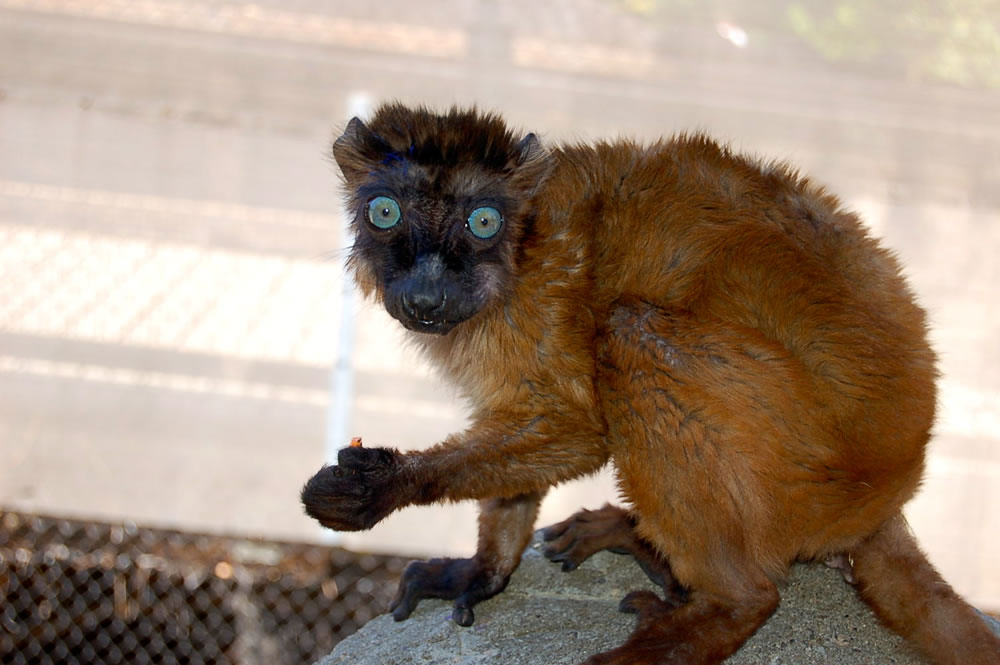 "<div class=""meta image-caption""><div class=""origin-logo origin-image ""><span></span></div><span class=""caption-text"">Dern holding a carrot at the Oakland Zoo.  This rare blue-eyed lemur relocated to Oakland from the Cameron Park Zoo in Waco, TX. (Erin Harrison, Oakland Zoo)</span></div>"