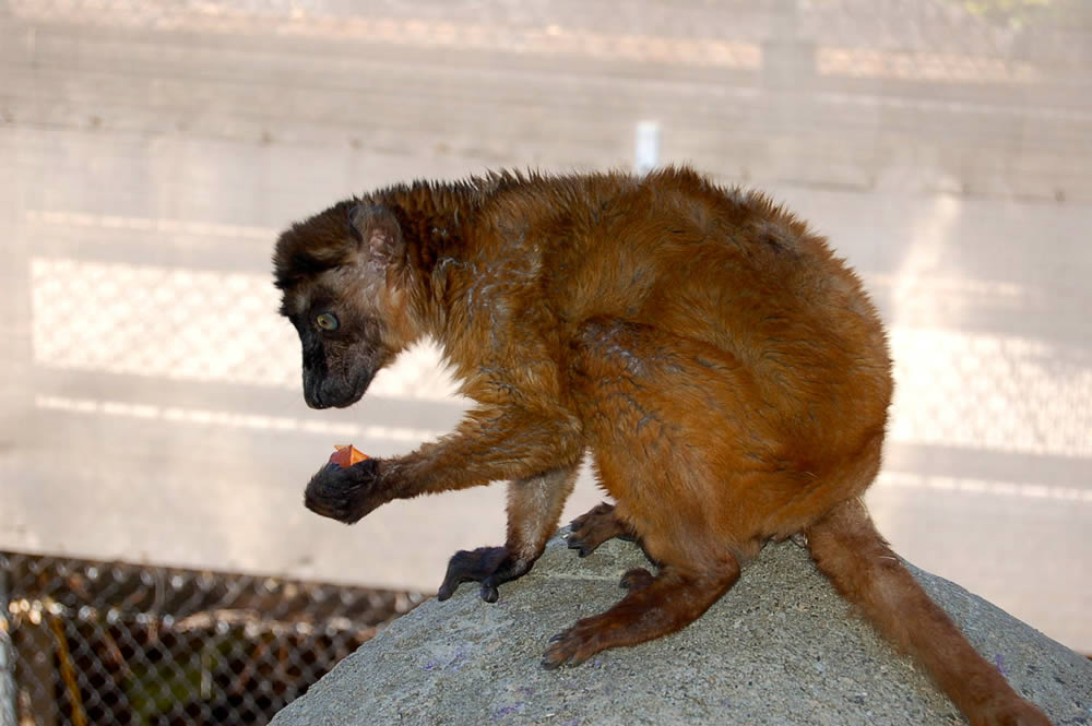 Dern holding a carrot at the Oakland Zoo.  This rare blue-eyed lemur relocated to Oakland from the Cameron Park Zoo in Waco, TX. <span class=meta>(Erin Harrison, Oakland Zoo)</span>