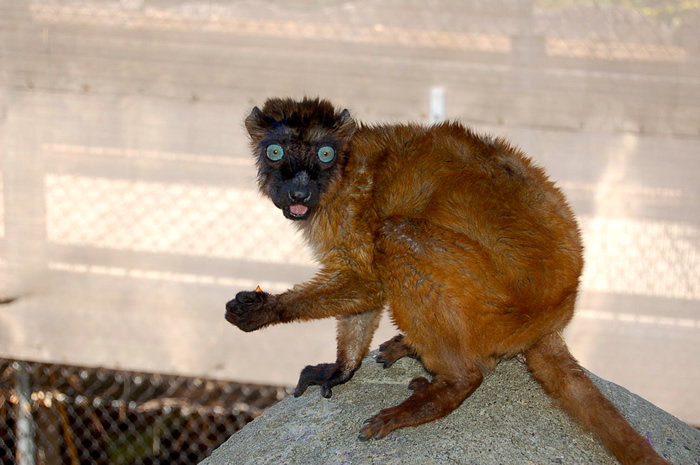 "<div class=""meta image-caption""><div class=""origin-logo origin-image ""><span></span></div><span class=""caption-text"">Dern, a rare blue-eyed lemur, relocated to Oakland from the Cameron Park Zoo in Waco, TX. (Erin Harrison, Oakland Zoo)</span></div>"