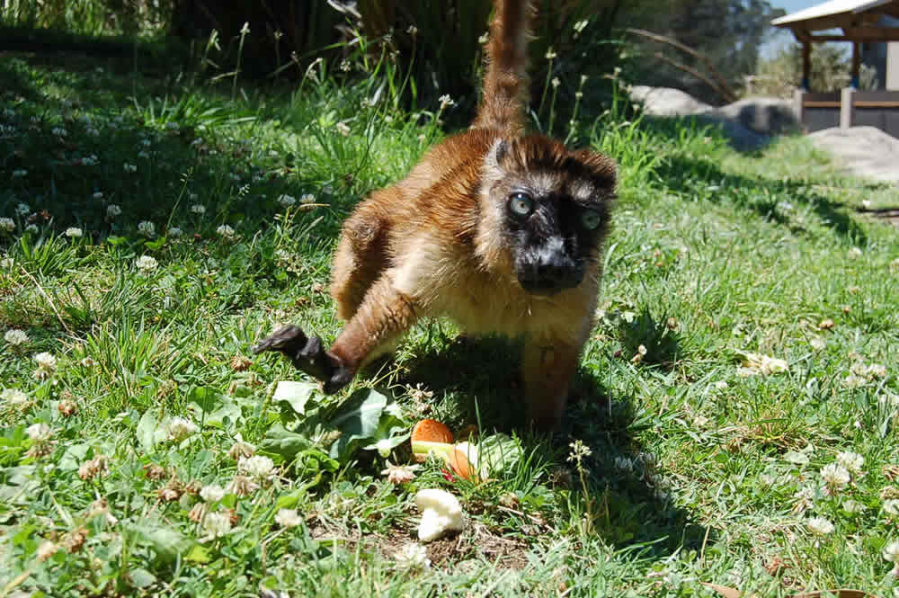 Dern, a rare blue-eyed lemur, relocated to Oakland from the Cameron Park Zoo in Waco, TX. <span class=meta>(Erin Harrison, Oakland Zoo)</span>