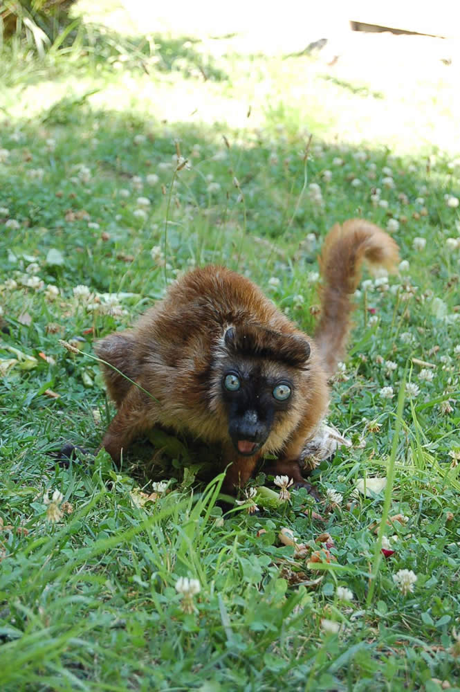 "<div class=""meta ""><span class=""caption-text "">Dern, a rare blue-eyed lemur, relocated to Oakland from the Cameron Park Zoo in Waco, TX. (Erin Harrison, Oakland Zoo)</span></div>"