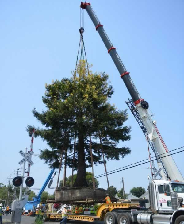The redwood was set very gently into the truck. <span class=meta>Wayne Freedman/ABC7 News</span>