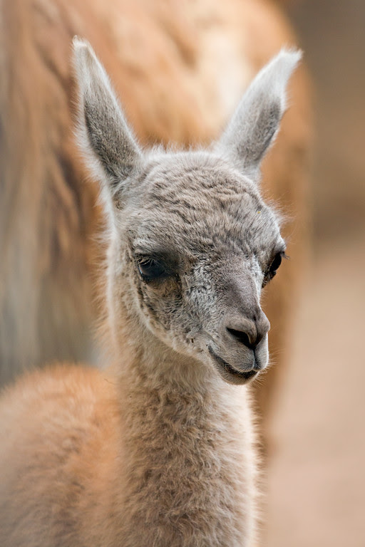 "<div class=""meta image-caption""><div class=""origin-logo origin-image none""><span>none</span></div><span class=""caption-text"">A guanaco was born on Saturday, August 20, 2016 at the San Francisco Zoo. (Marianne Hale)</span></div>"